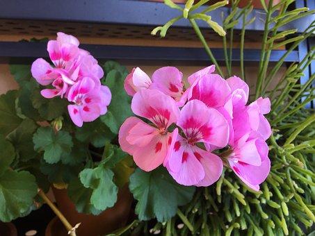 Geraniums, Geranium, Flowers, Garden, Plants
