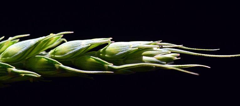 Grain, Ear Of Corn, Cereals, Close, Wheat, Green Wheat