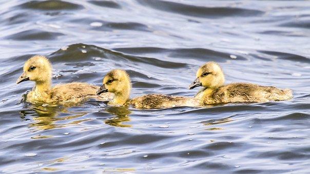 Greylag Goose, Goose, Chicks, Nature, Bird, Animal