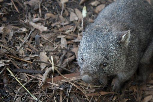 Wombat, Wildlife, Marsupial, Nature, Mammal, Herbivore