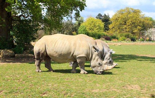 Rhino, Zoo, Animal, Wild, Wildlife, Rhinoceros, Nature