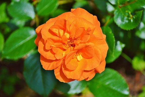 Rose, Blossom, Bloom, Flower, Orange, Rose Bloom