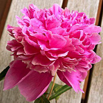 Peony, Flower, Single Bloom, In Full Bloom, Dark Pink