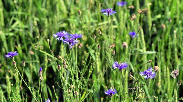 Cornfield, Cornflowers, Blue, Field, Summer, Cereals
