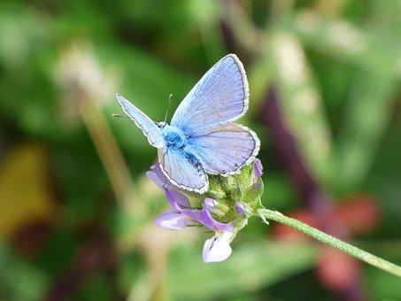 Butterfly, Blue Butterfly, Blaveta Commune