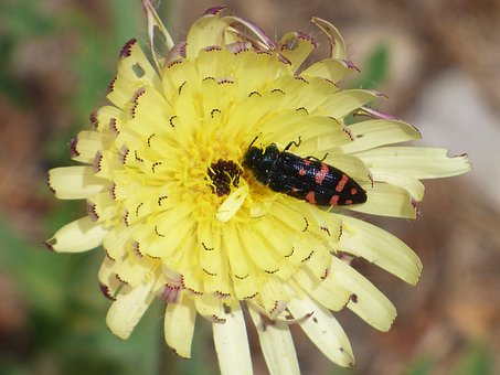 Insect, Flower, Wild Flower, Libar, Bug