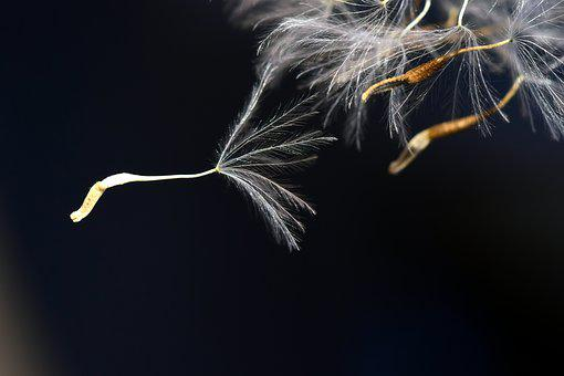 Flying Seeds, Close, Seeds, Macro, Nature