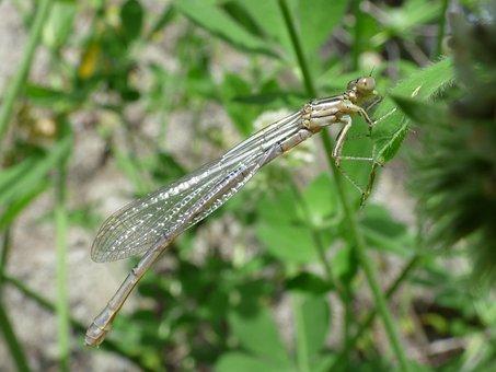 Dragonfly, Dragonfly White, Damselfly
