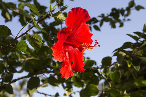 Flower, Red, Hibiscus