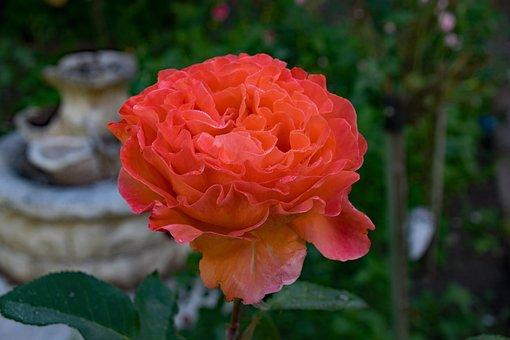 Rose, Tea Time, Floribunda, Flowers, Orange, Blossom