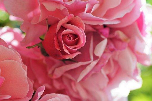 Rose, Bud, Pink, Plant, Garden, Flowering, Rosebud