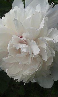 Baby Rose, Rose, Garden Rose, Blossom, Bloom, Plant
