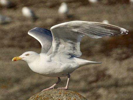 Gull, Departure, Start, Fly, Take Off, Bird, Wing