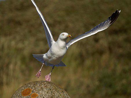 Gull, Departure, Start, Fly, Take Off, Rise, Wing, Bird