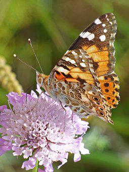 Butterfly, Wild Flower, Libar, Vanessa Cardui