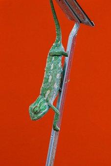 Chameleon, Scale, Color, Reptile, Close, Lizard, Nature
