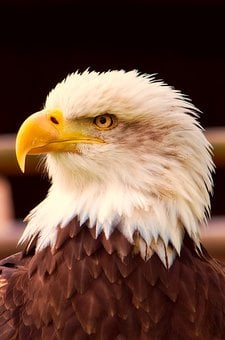 Bald Eagle, Bird, Wildlife, Symbol, Patriotism