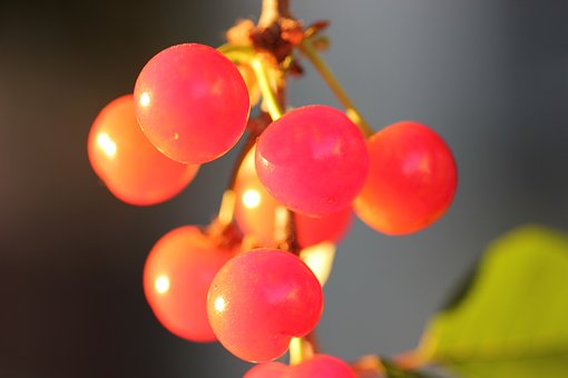 Red Cherry, Fruit, Fresh, Healthy, Juicy, Nature