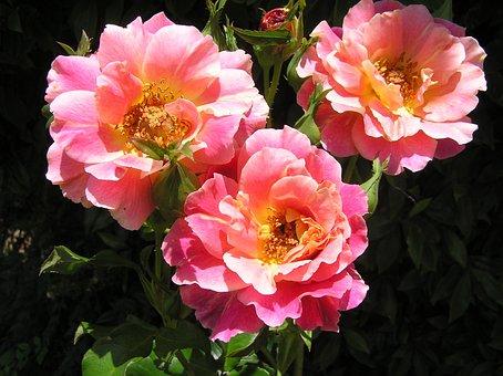 Rose, Talisman, Variety