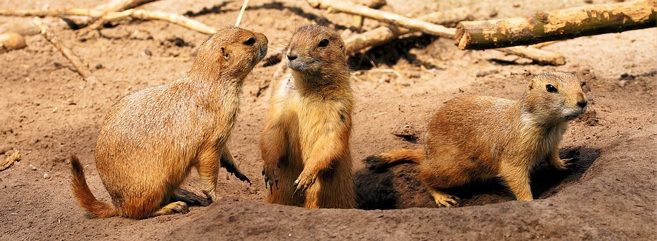 Prairie Dogs, Curious, Entertain, Group, Small, Cute