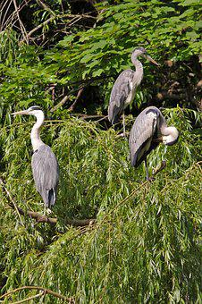 Grey Heron, Tree, Birds, Heron, Aesthetic, Animal World