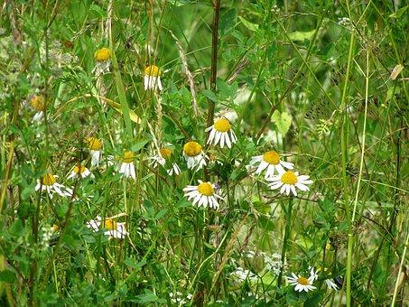 Chamomile, Camomile, Daisy, Flowers, Herbs