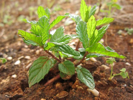 Mint, Peppermint, Plant, Nature, Aroma, Leaves, Garden
