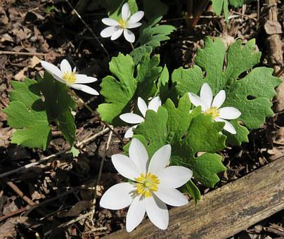 Bloodroot, Sanguinaria Canadensis, Native, Wildflower
