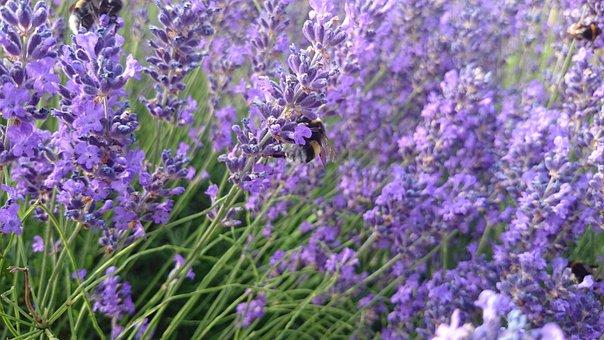Lavender, Hummel, Insect, Violet, Nature, Purple
