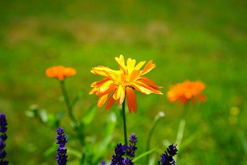 Marigold, Flower, Blossom, Bloom, Orange