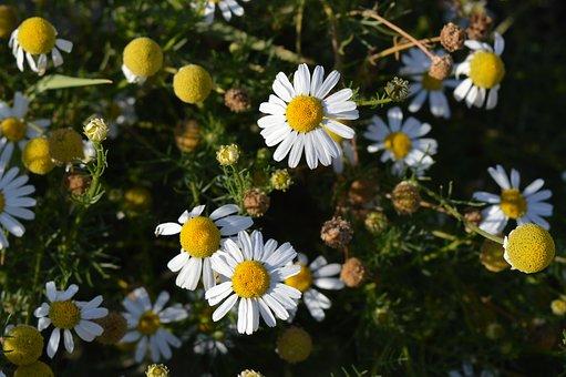 Daisy, Flower, Pharmaceutical Camomile