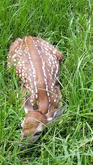 Fawn, Deer, Nature, Animal, Wild, Baby, Wildlife, Cute