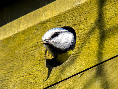 Blue Tit, Tit, Nesting Box, Nature, Bird, Animal