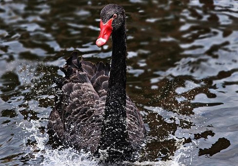 Mourning Swan, Swan, Black, Black Swan, Bird, Animal