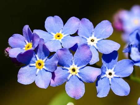 Forget Me Not, Flower, Blossom, Bloom, Nature