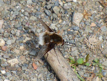 Bombus, Drone, Bumblebee, Calopteryx Haemorrhoidalis
