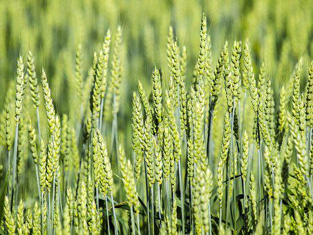 Cereals, Field, Spike, Plant, Crop