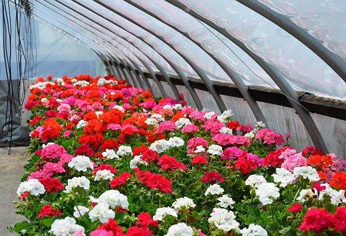 Geraniums, Greenhouse, Flower, Floral, Garden, Plant