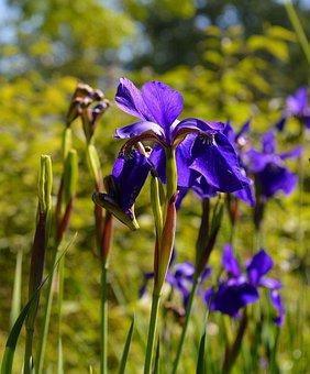 Iris, Blossom, Bloom, Flower, Nature, Garden, Plant