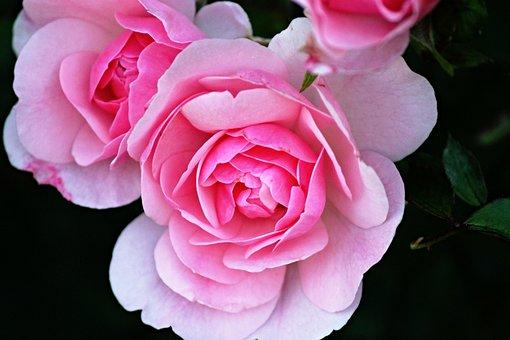 Rose Flower, Rose Petals, Roses, Flower, Petals
