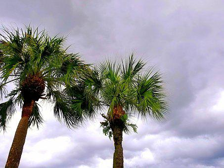 Palmtree, Sky, Clouds, Gray, Palm, Tree, Summer, Nature
