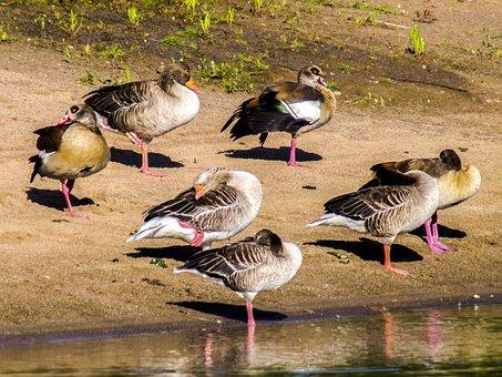 Goose, Nilgans, Greylag Goose, Water Bird, Bird, Nature