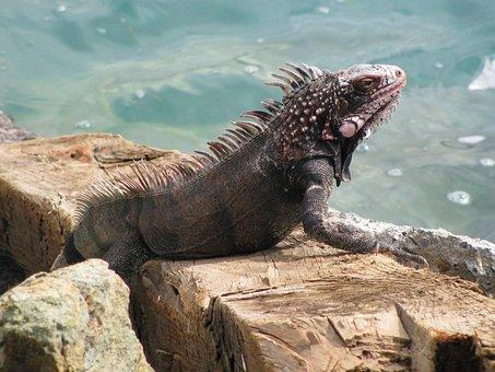 Iguana, Beach, Rock, Sea, Lizard, Nature, Wildlife