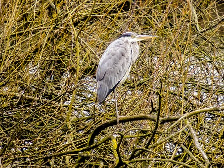Heron, Grey Heron, Bird, Nature, Animal