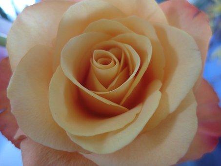 Rose, Pink Rose, Orange Rose, Flower, Romance, Romantic