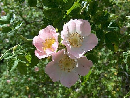 Wild Rose, Dog Rose, Rose Hip, Rose Greenhouse, Rose
