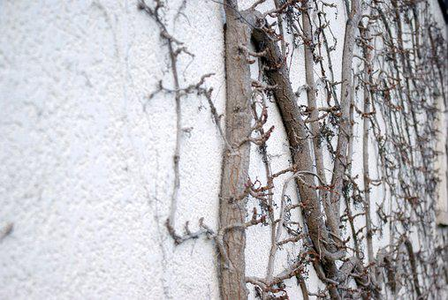 Wall, Creeper, Narrow-leaved, Branch, Vegetation