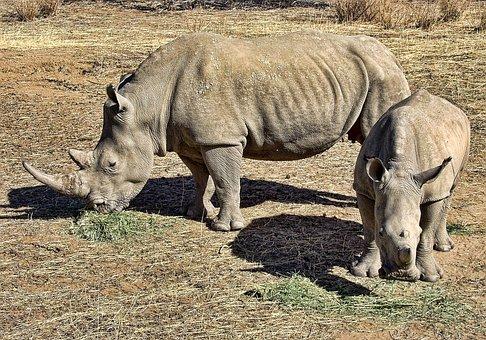 Rhino, White, Rhinoceros, Wild, Africa, Mammal, Horn