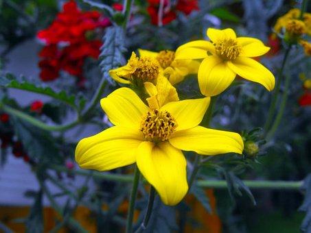 Flowers, Geraniums, Yellow Flowers, Window Flowers