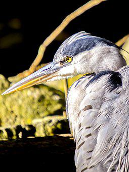 Grey Heron, Heron, Bird, Water Bird, Nature, Animal